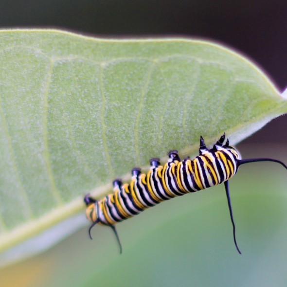 Monarch Caterpillar by Courtney Celley
