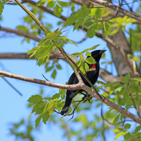 Red-winged Blackbird by Courtney Celley.