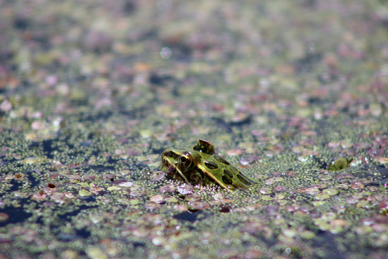 Leopard Frog by Courtney Celley.