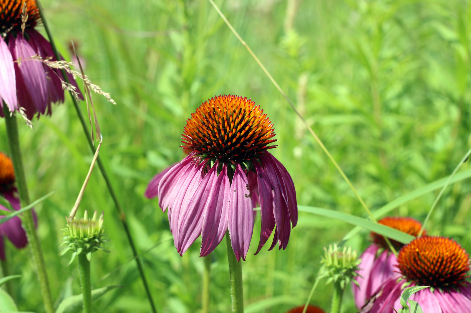 Purple Cone Flowers by Courtney Celley.