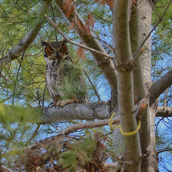 Great Horned Owl by Courtney Celley.