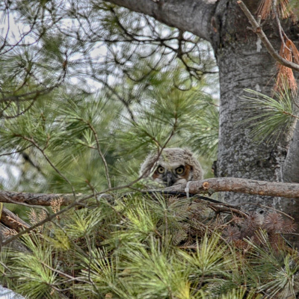 Young Great Horned Owl by Courtney Celley.