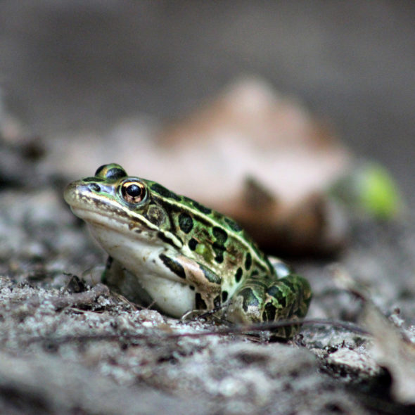 Northern Leopard Frog by Courtney Celley