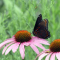 Red-spotted Purple Butterfly by Courtney Celley