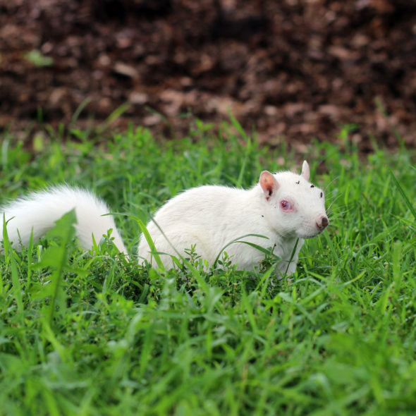 Albino Squirrel by Courtney Celley