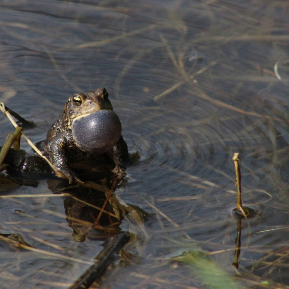 American Toad by Courtney Celley