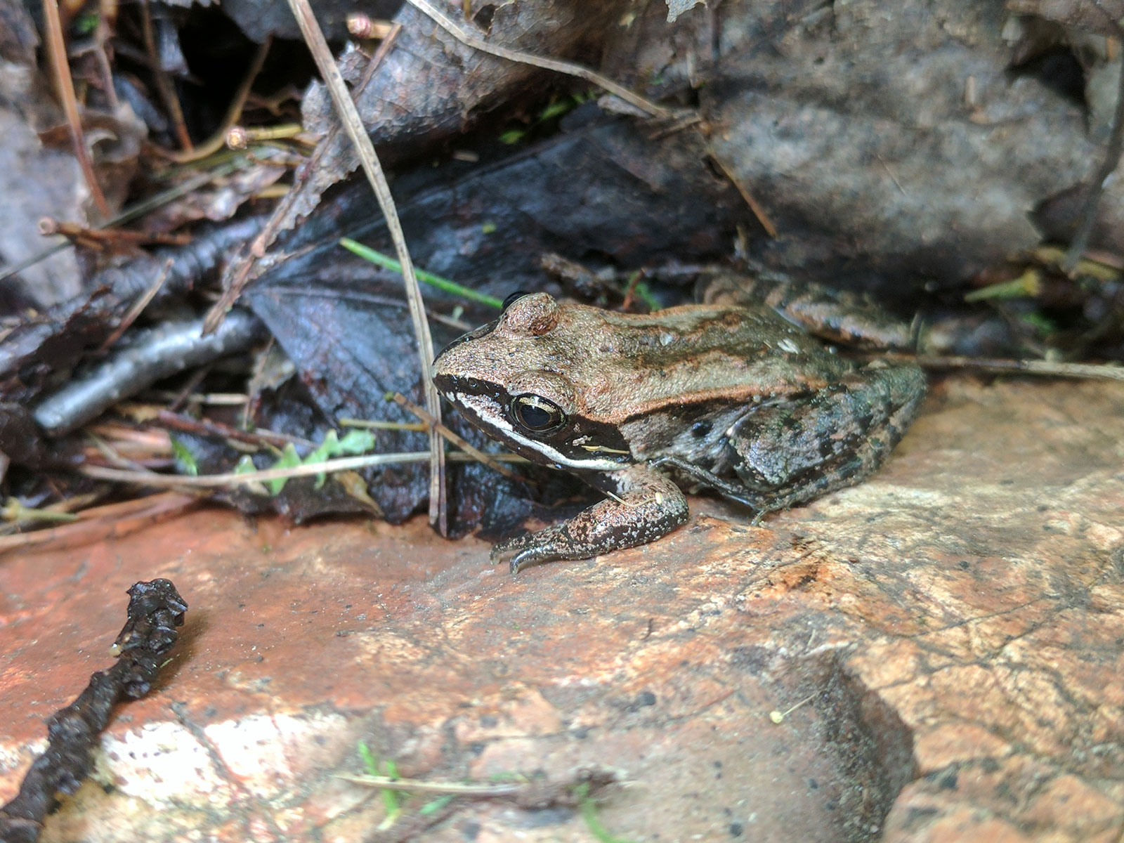 Wood Frog Blending In by Courtney Celley