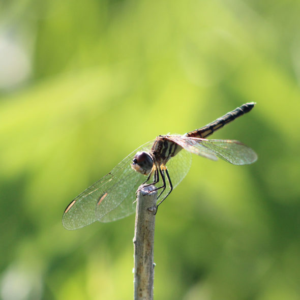 Blue Dasher Dragonfly by Courtney Celley