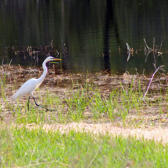 Great Egret by Courtney Celley