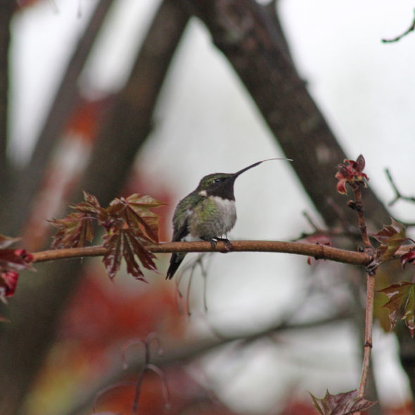 Ruby-throated Hummingbird by Courtney Celley