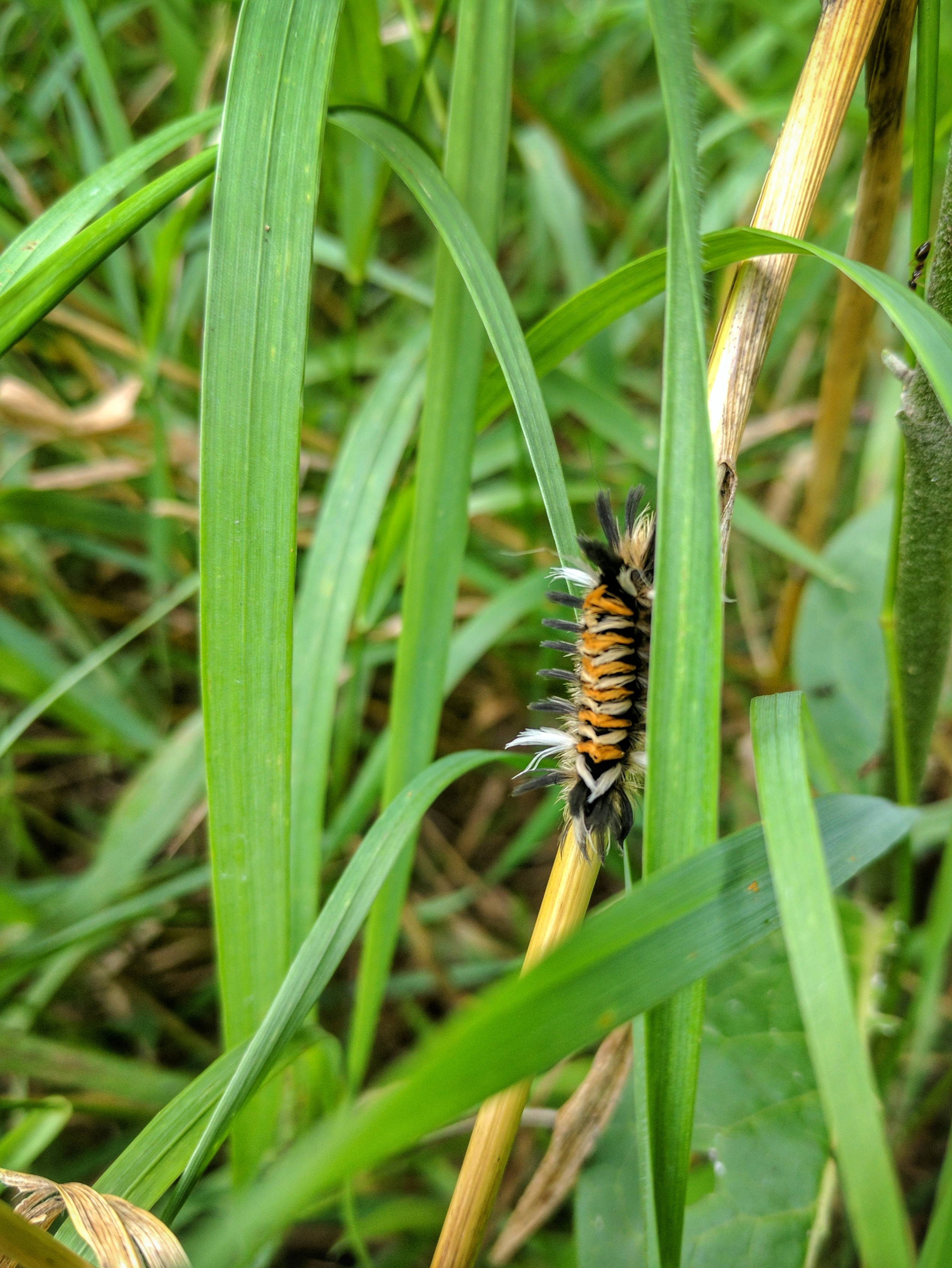 Milkweed Tussock Moth Caterpillar by Courtney Celley