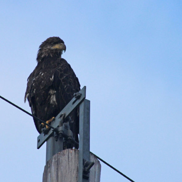 Juvenile Bald Eagle by Courtney Celley