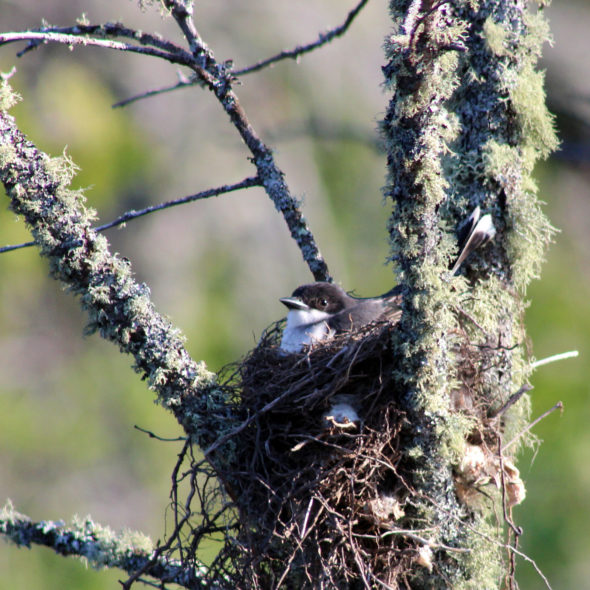 Nesting Eastern Kingbird by Courtney Celley