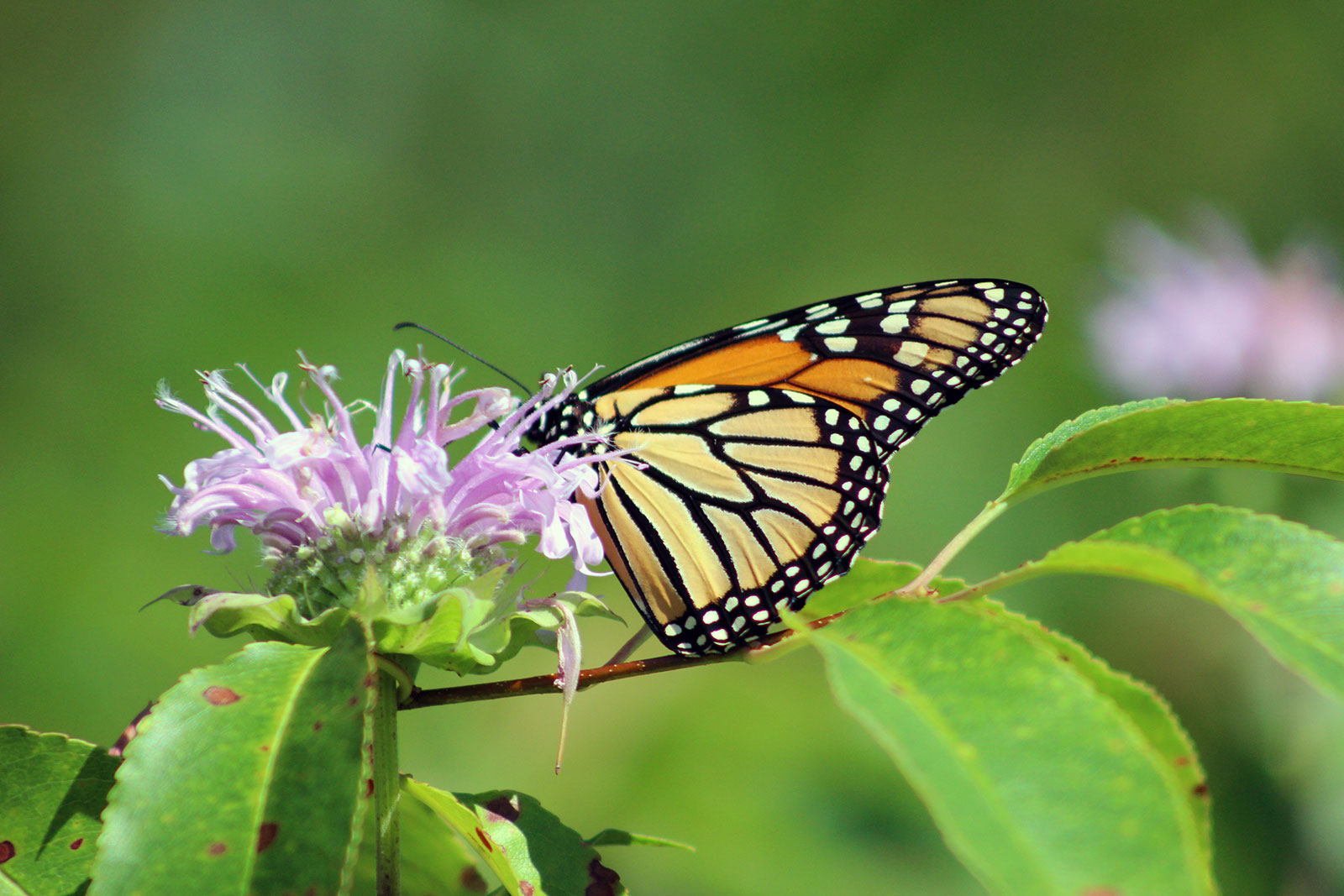 Monarch Butterfly by Courtney Celley
