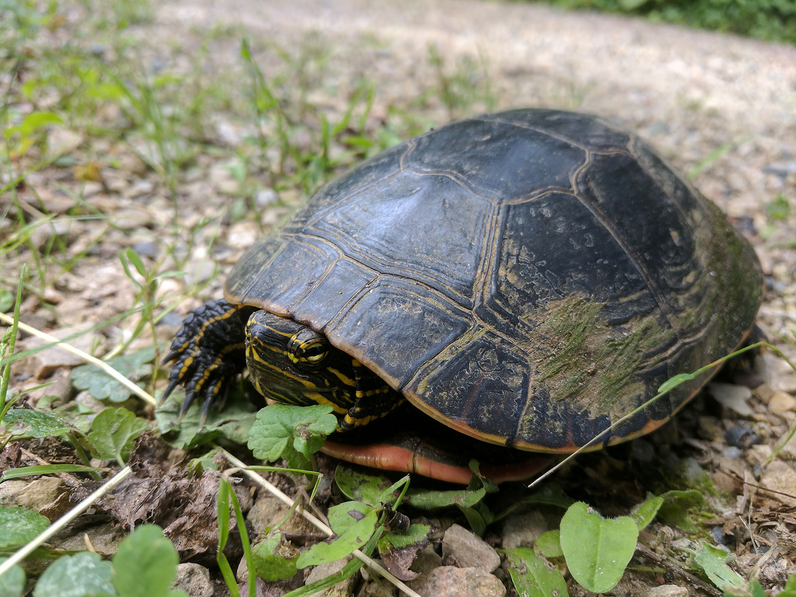 Painted Turtle by Courtney Celley