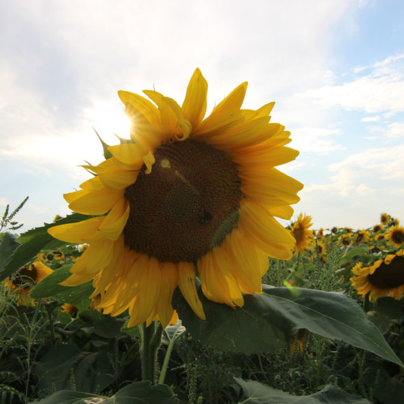 Fields of Sunflowers by Courtney Celley