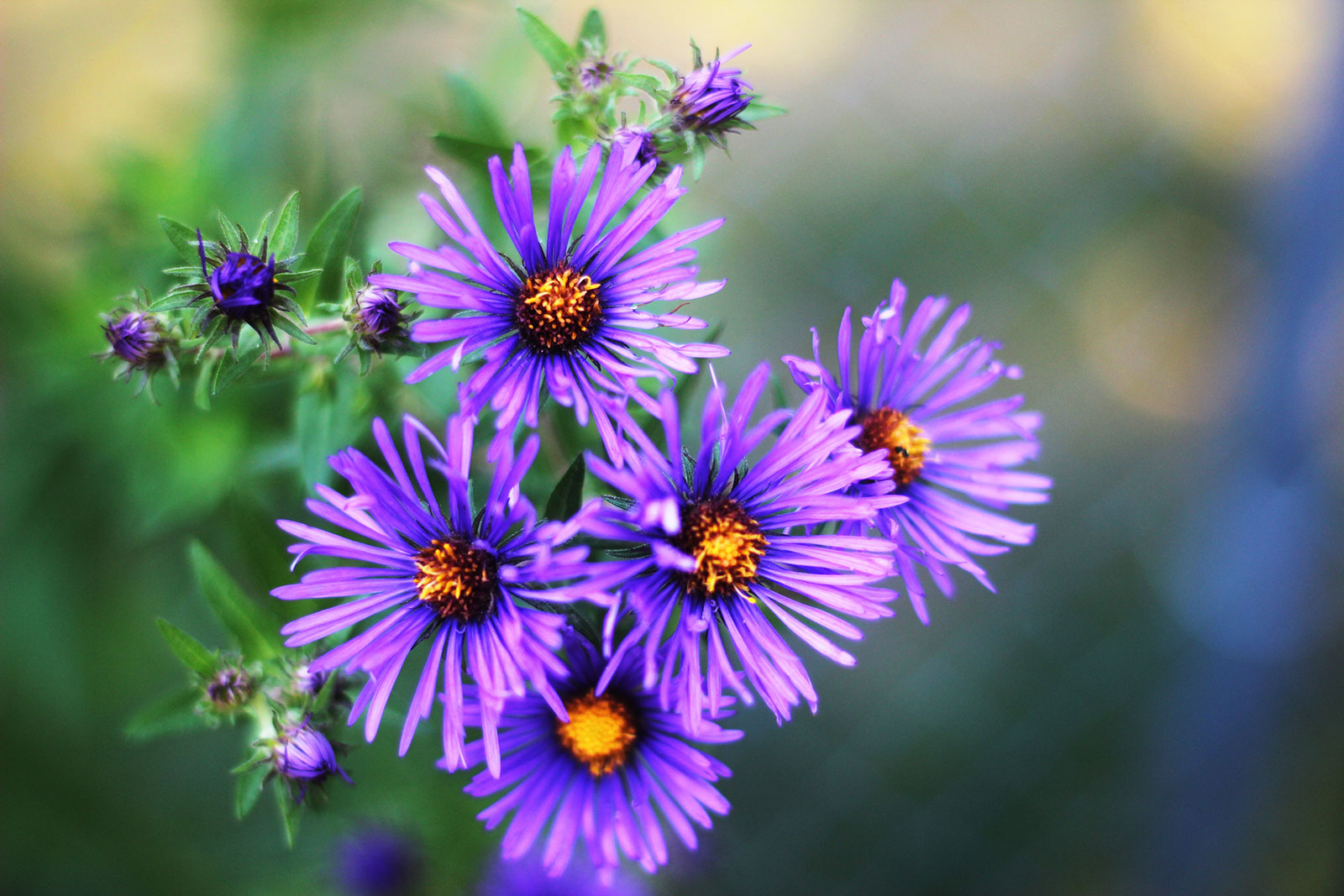New England Aster by Courtney Celley