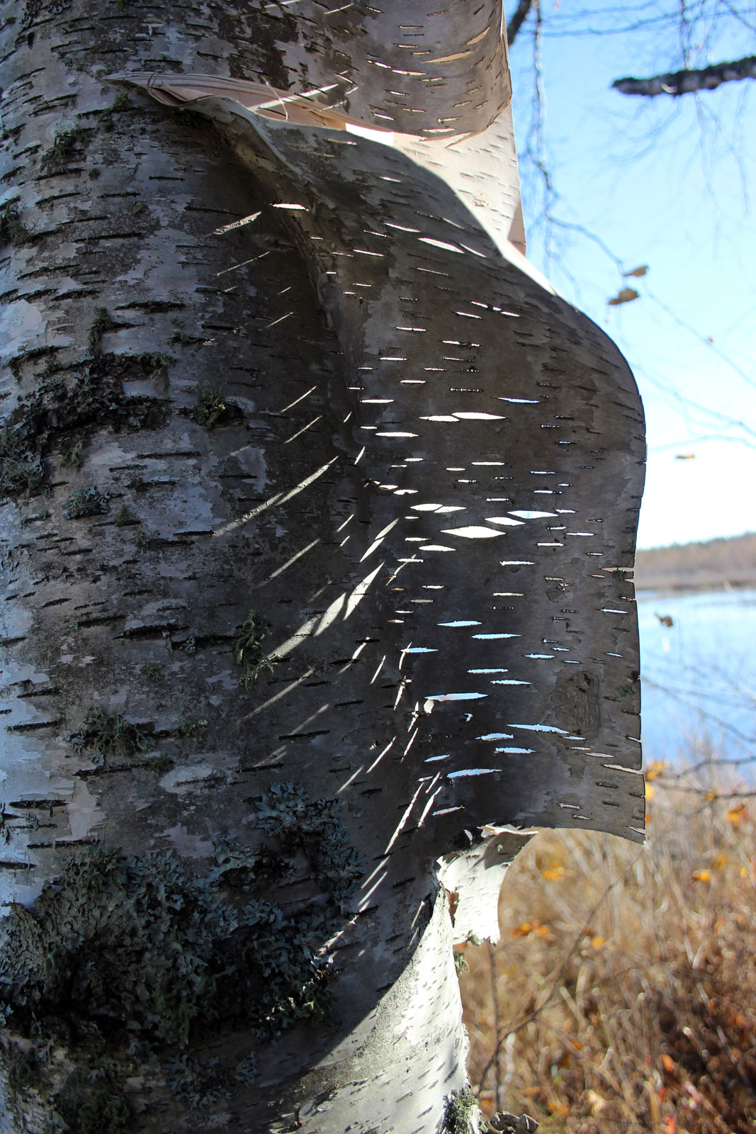 Birch Bark by Courtney Celley