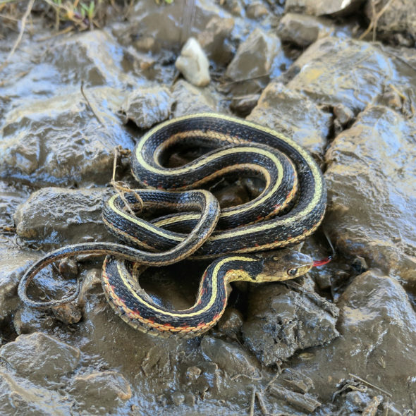 Garter Snake by Courtney Celley