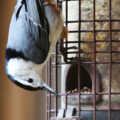 White-breasted Nuthatch by Courtney Celley