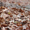 Fallen Oak Leaves by Courtney Celley