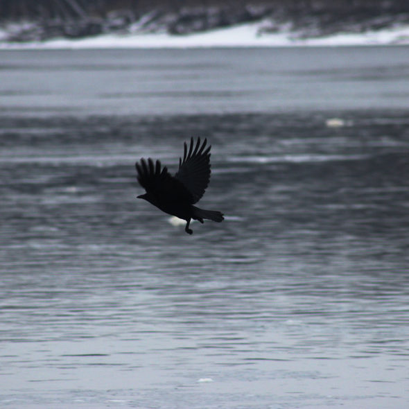 American Crow Over the Mississippi River by Courtney Celley