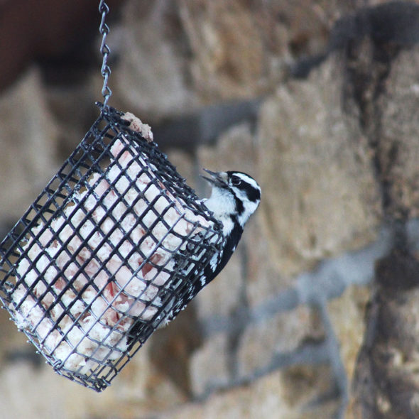 Downy Woodpecker by Courtney Celley