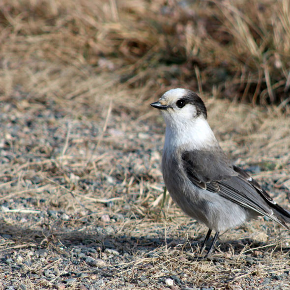 Curious Gray Jay by Courtney Celley