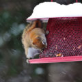 Red Squirrel by Courtney Celley