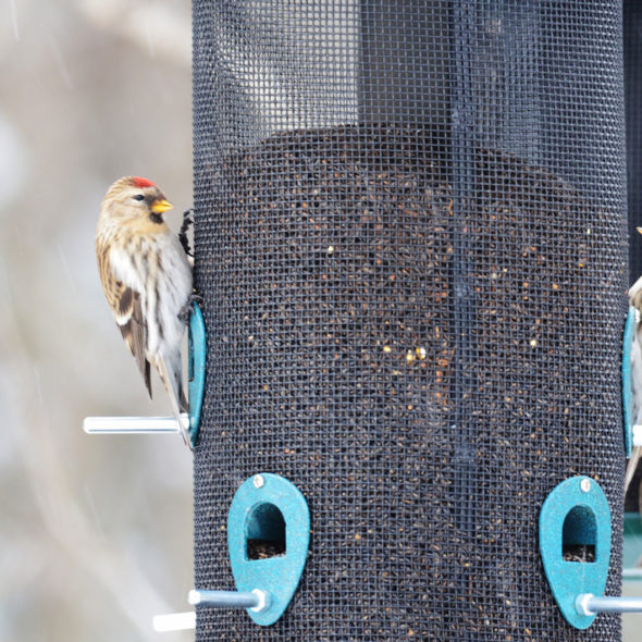 Common Redpolls by Courtney Celley