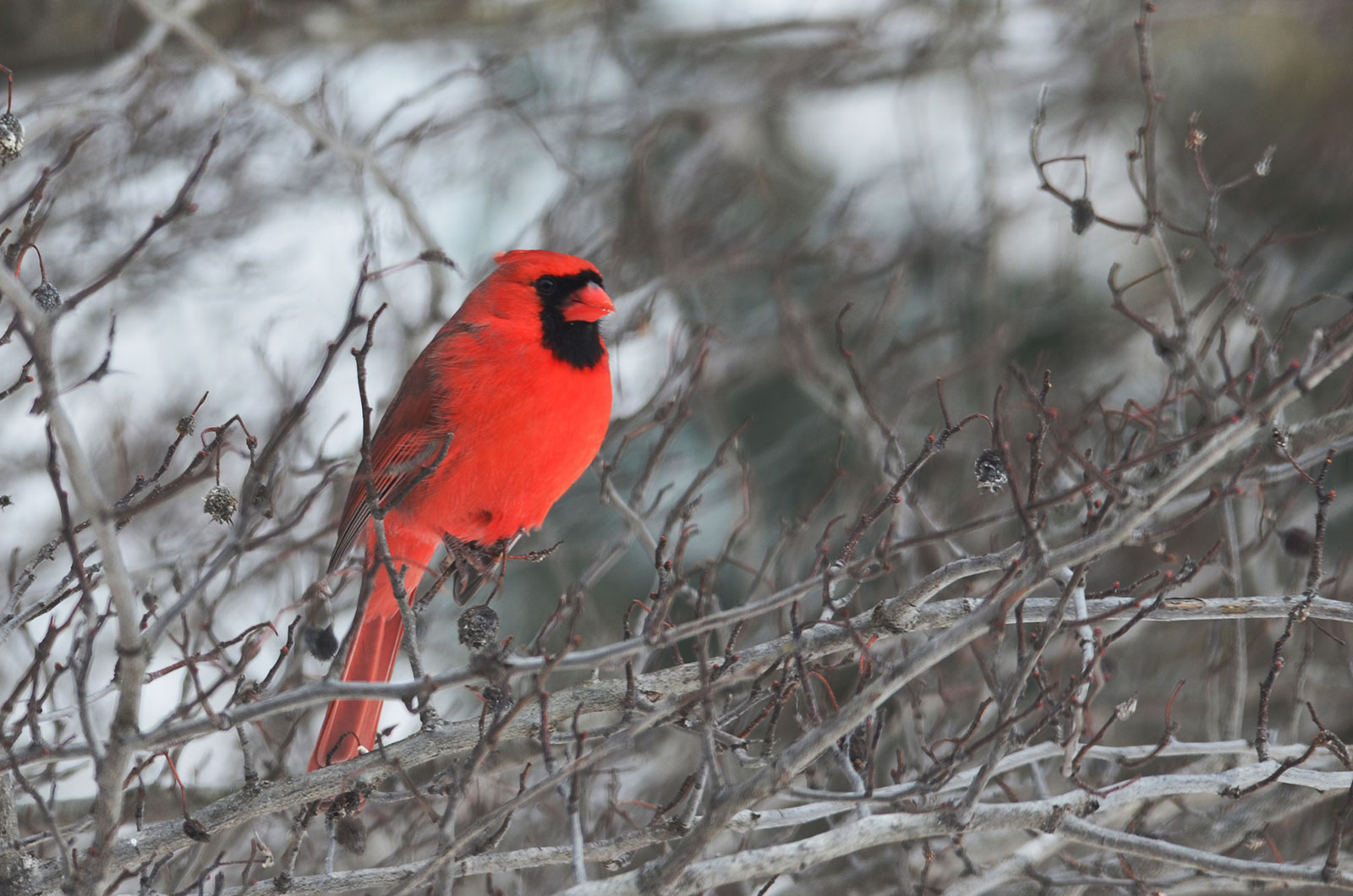 Northern Cardinal by Courtney Celley
